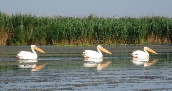 Rezervația biosferei Delta Dunării pelicani