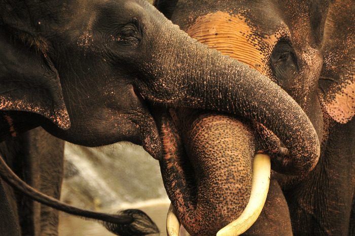 Top Phuket Tours: Visit to the Elephant sanctuary.