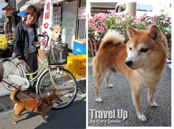 takayama autumn festival japan shiba inu doge 02