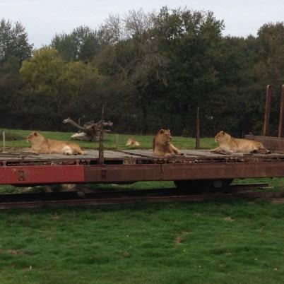 Lions Planète sauvage