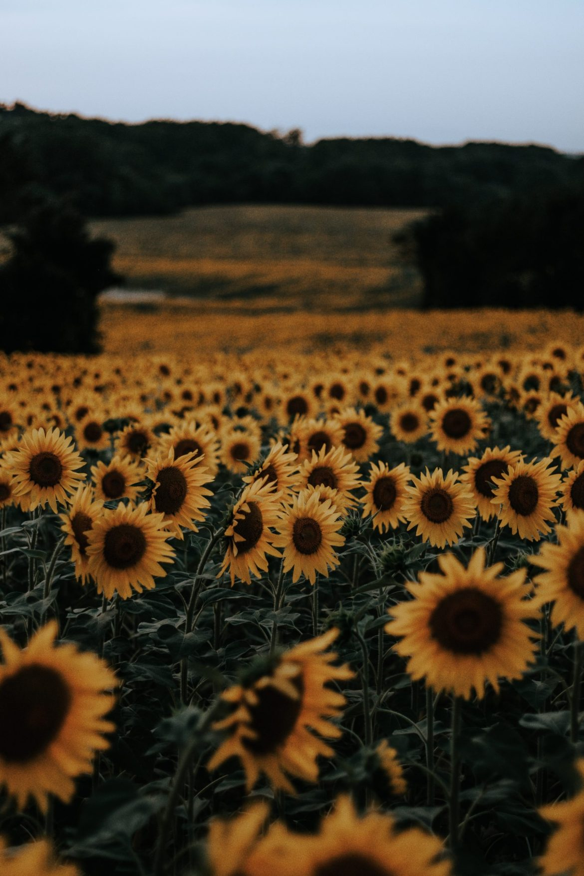 History of the Eau Claire Sunflowers