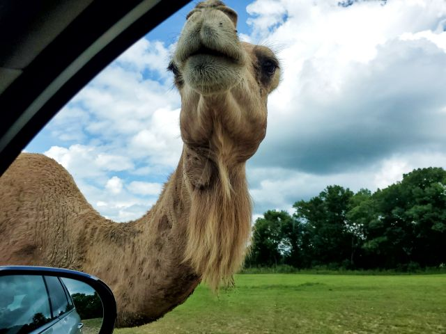 sarafi lake geneva camel coming to the car from Midwest Road Trip Adventures