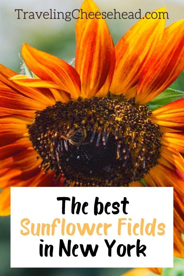 The Best Sunflower Fields in New York