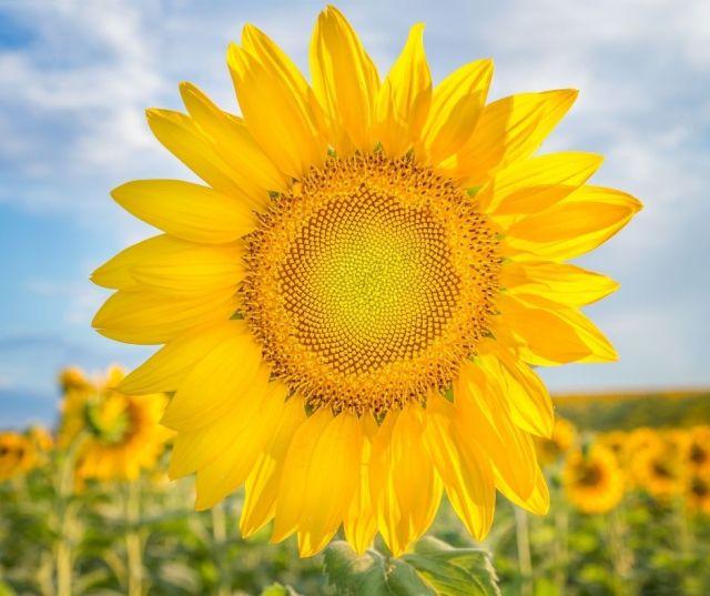 Sunflower Fields In Kenosha County