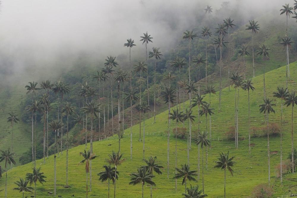 Valle de Cocora in Kolumbien