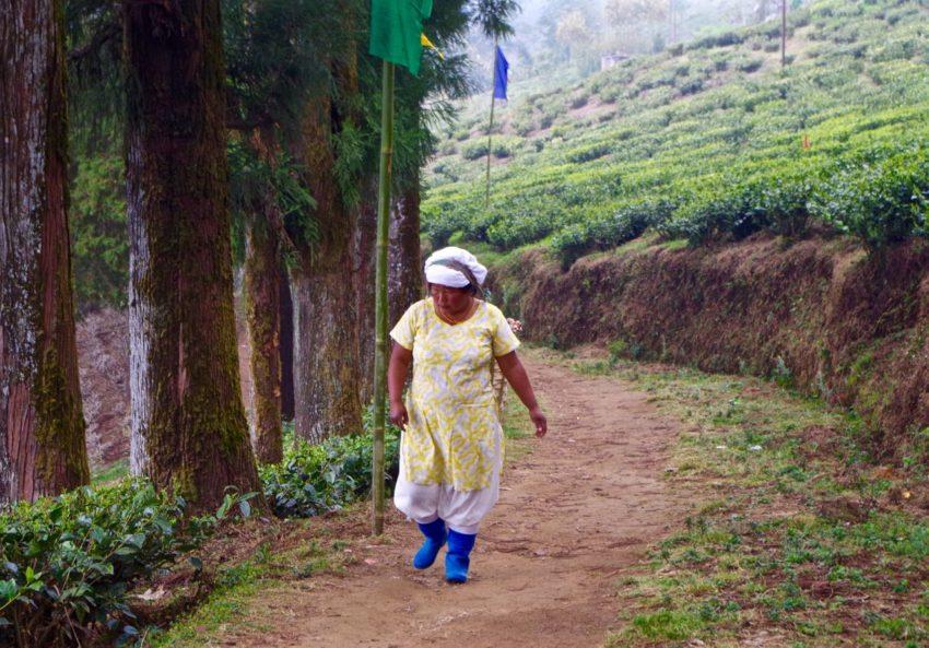Darjeeling-Indien-Teeplantage