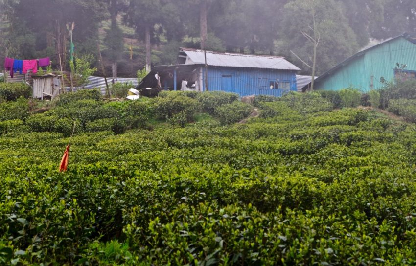Darjeeling-Happy-Valley