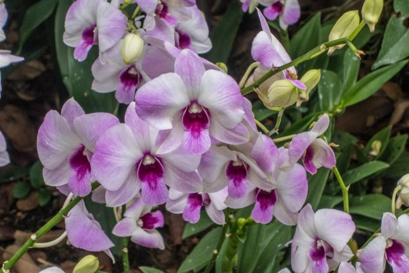 Singapore Botanic Garden Orchid