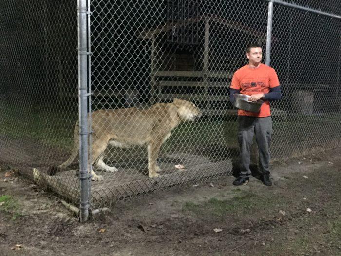 Feeding a lion at Catty Shack Ranch.