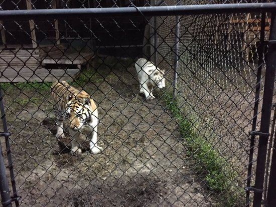 Catty Shack Ranch tiger and white tiger.