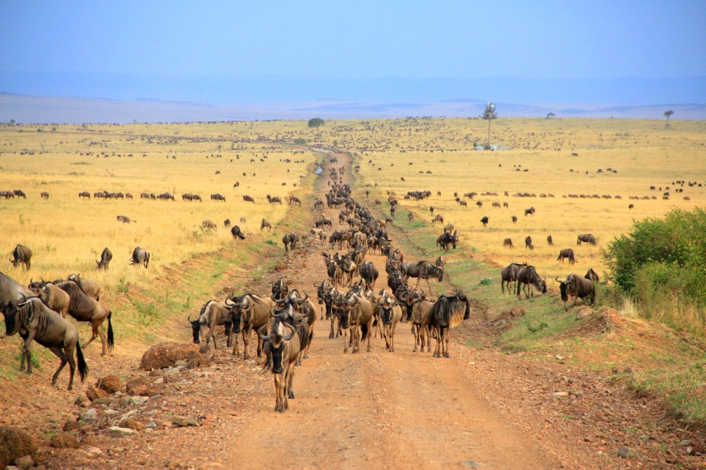 1.4 Millions of Wildebeest Migrating from Tanzania to Kenya