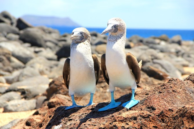 Blue feet boobies in Galapagos, Ecuador