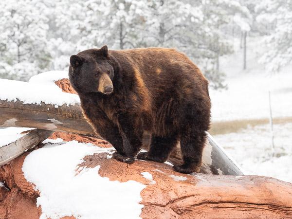 brown bear south dakota travel is sweet