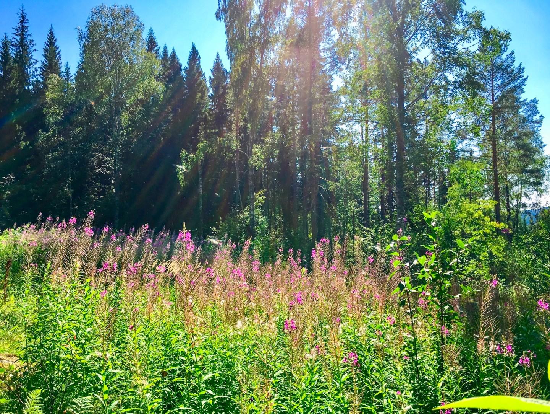 Field of fireweed in Koli National Park