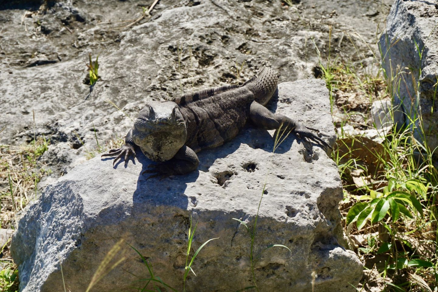 Iguana at Tulum Ruins and how to visit the ancient mayan site Tulum