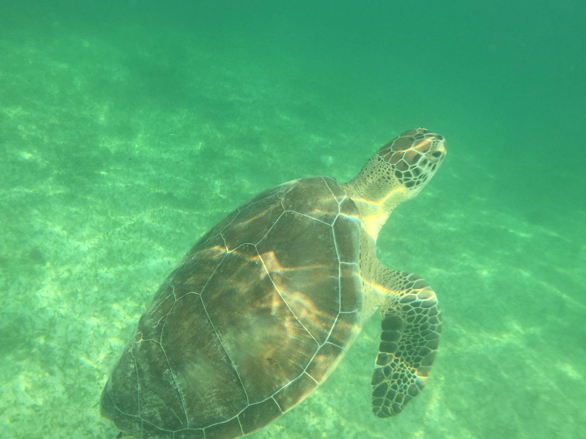 Green turtle at Akumal Beach
