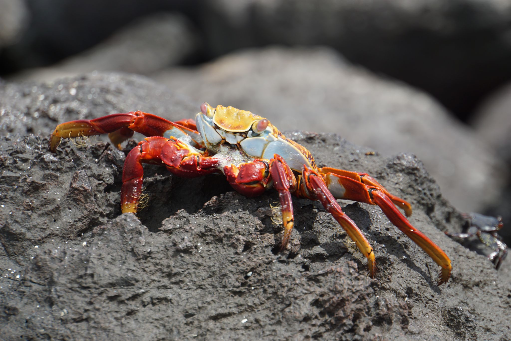 Sally lightfoot crab is one of the animals you can spot on the Galápagos islands