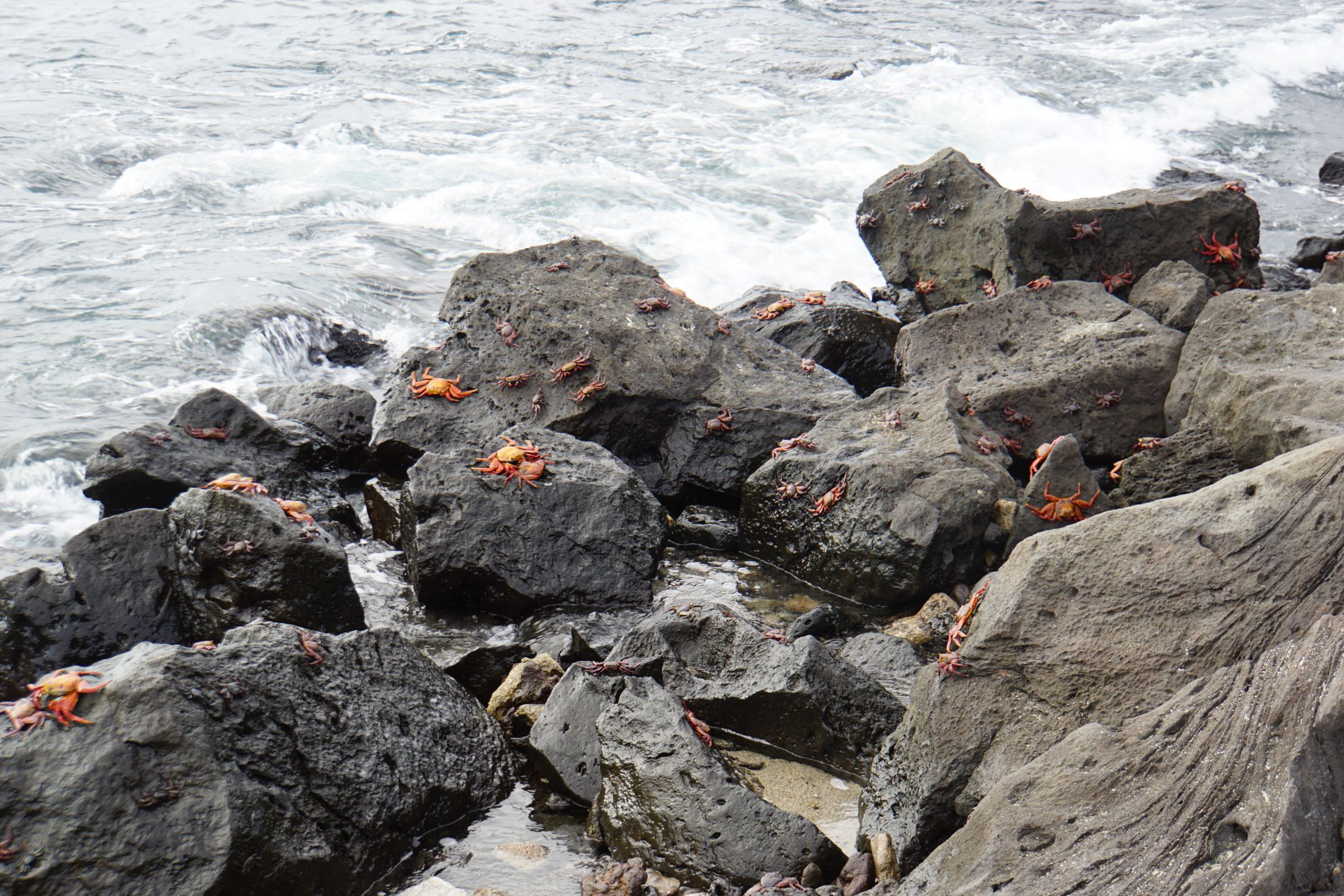 Lots of Sally lightfoot crabs in the Galápagos