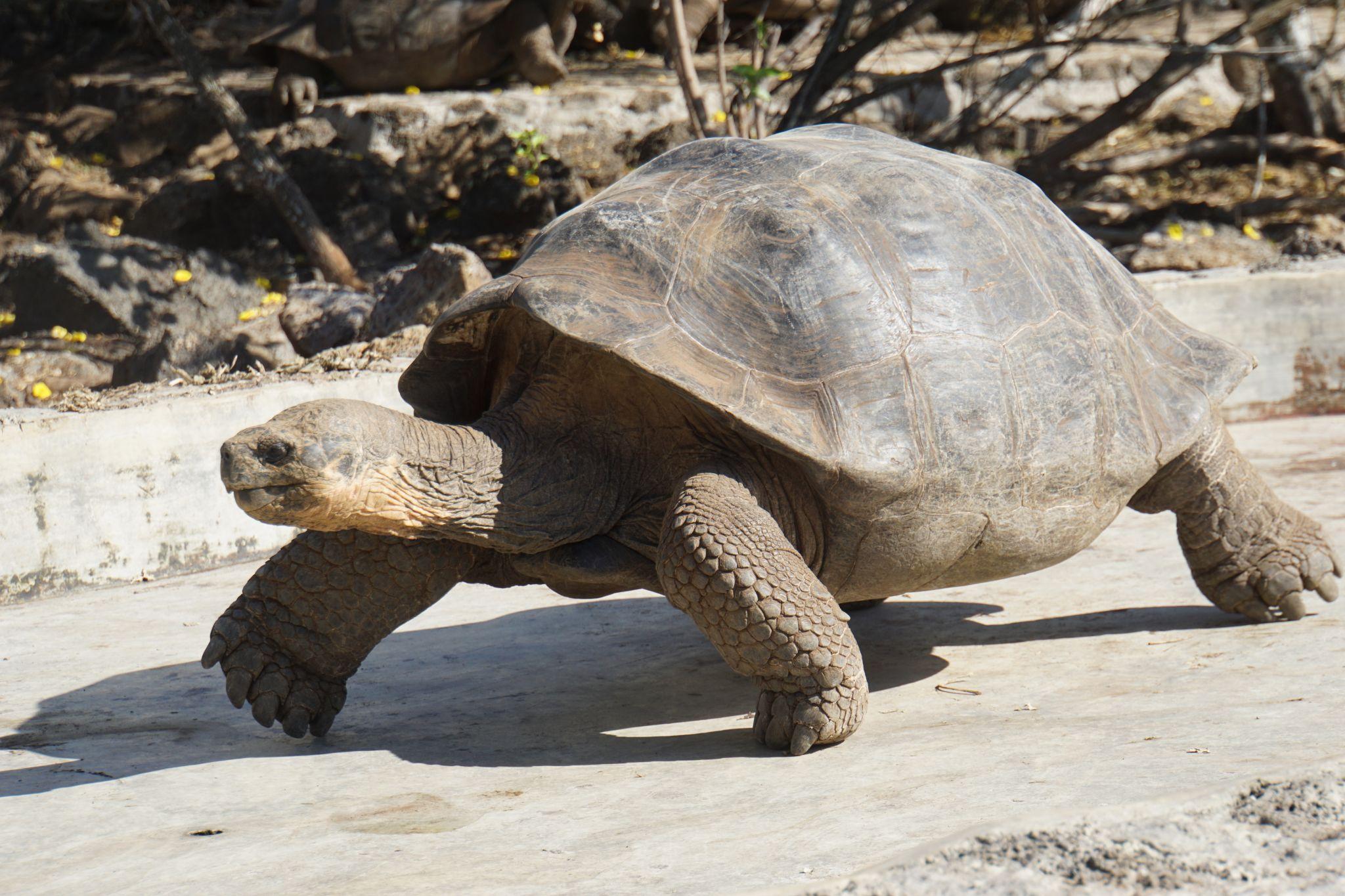 Giant Galápagos tortoise on Santa Cruz