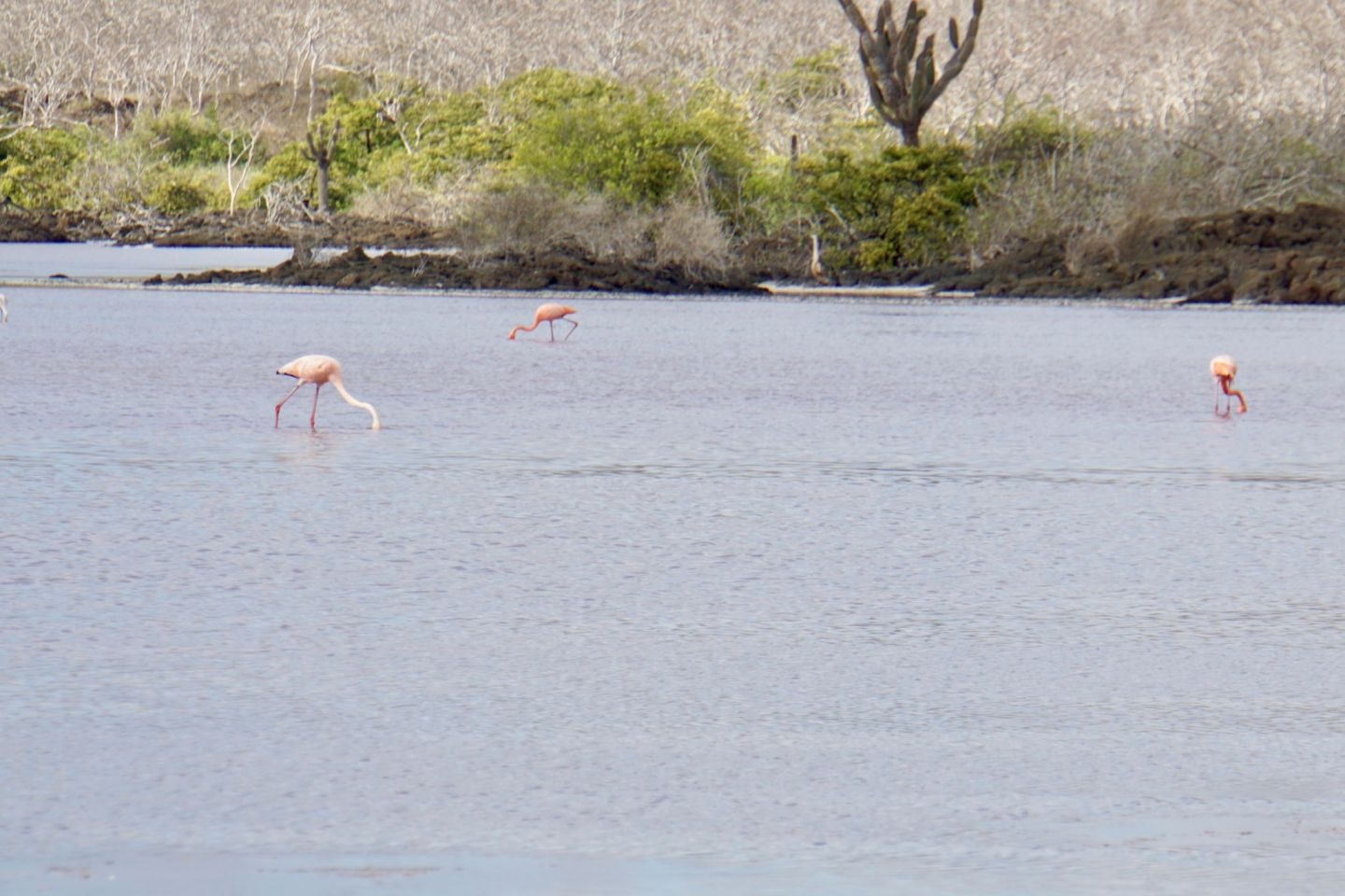 Flamingos can be seen on Isla Floreana in the Galápagos islands.