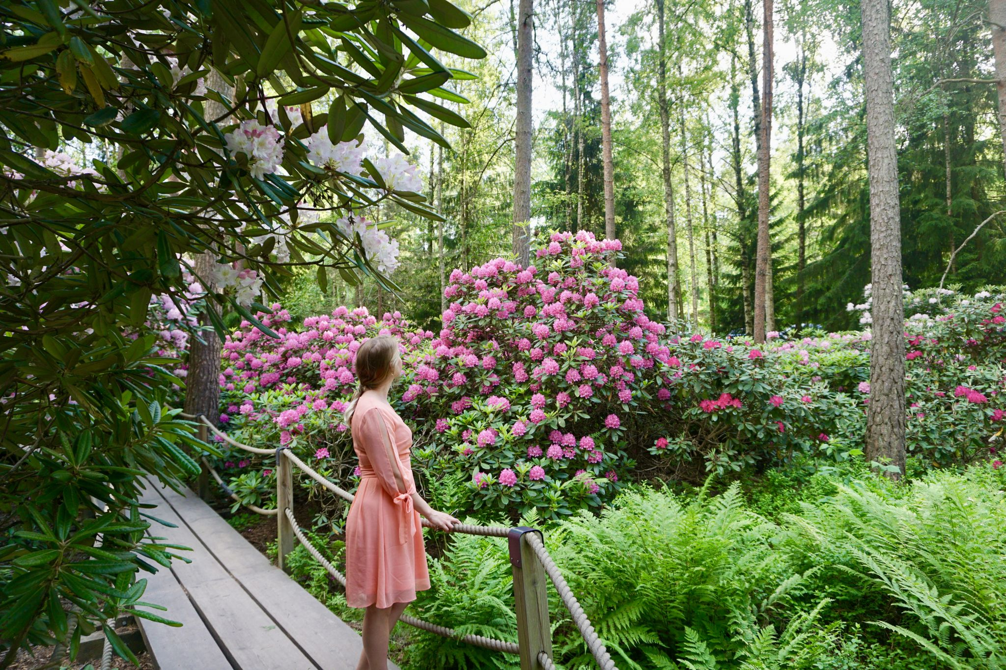 Thousands and thousands of rhododendrons in full bloom in Alppiruusupuisto in Helsinki