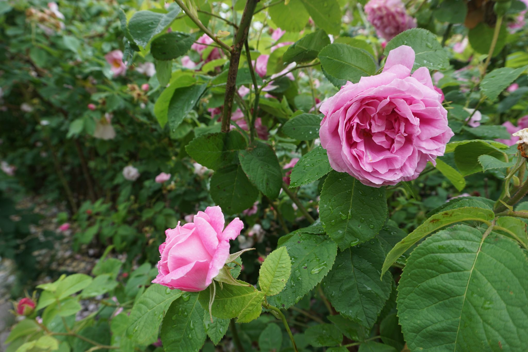 How to visit the Rose Garden in Meilahti in Helsinki