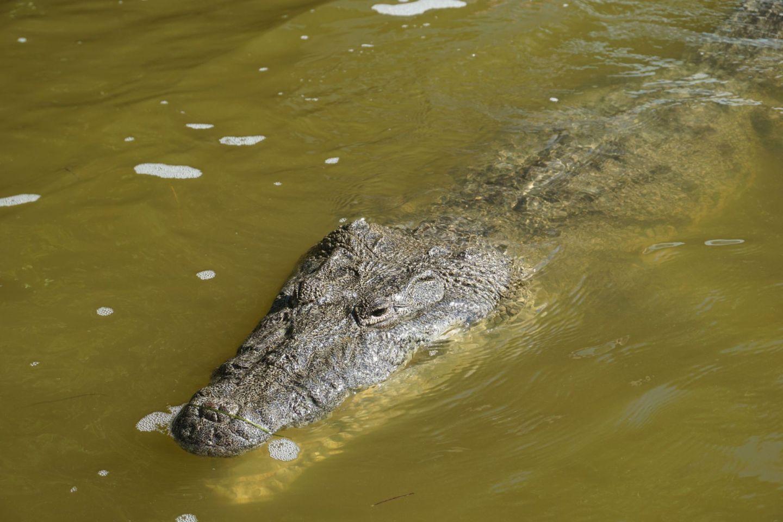 Crocodile in Ría Lagartos biosphere reserve