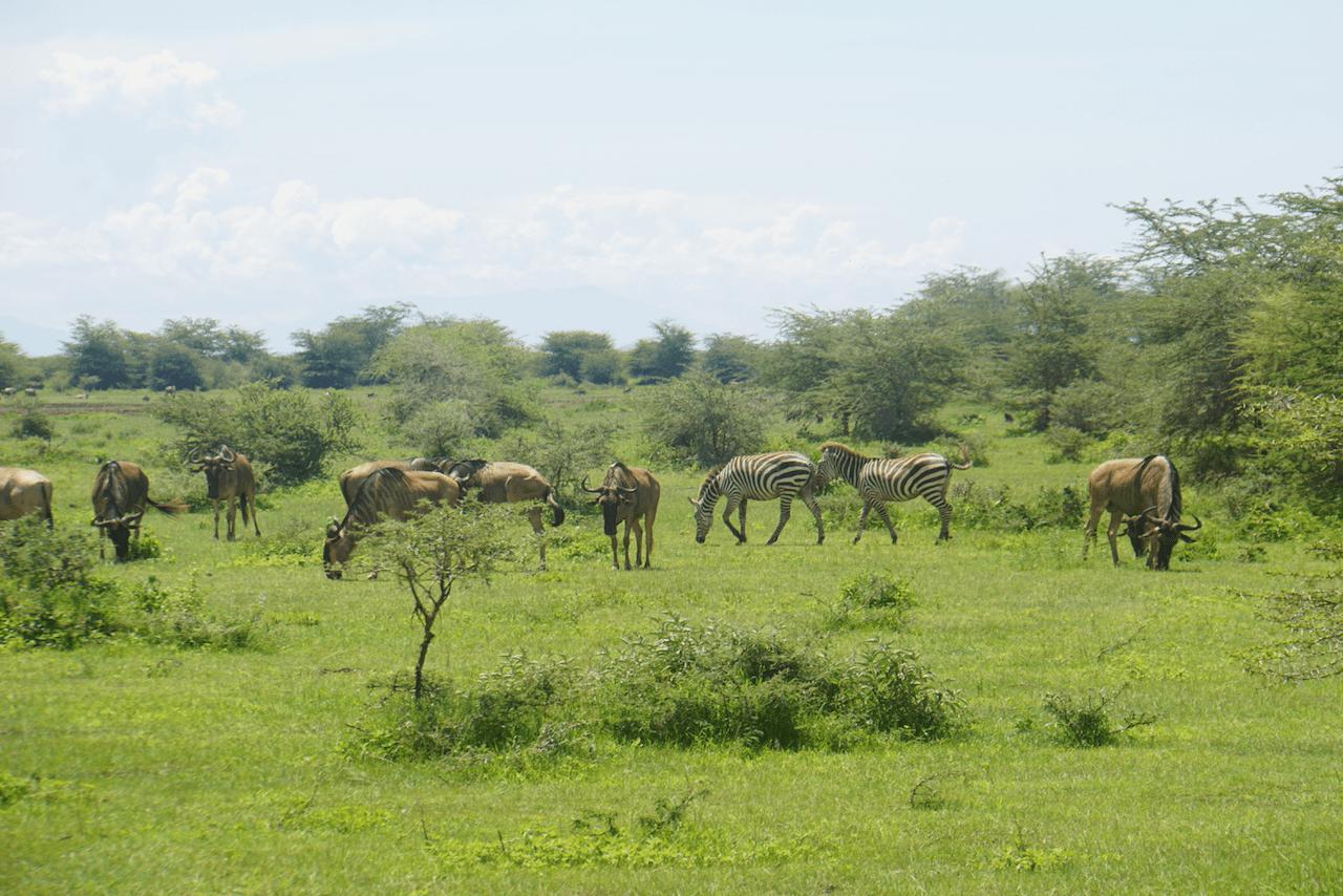 Wildebeest and zebras in Lake Manyara National Park