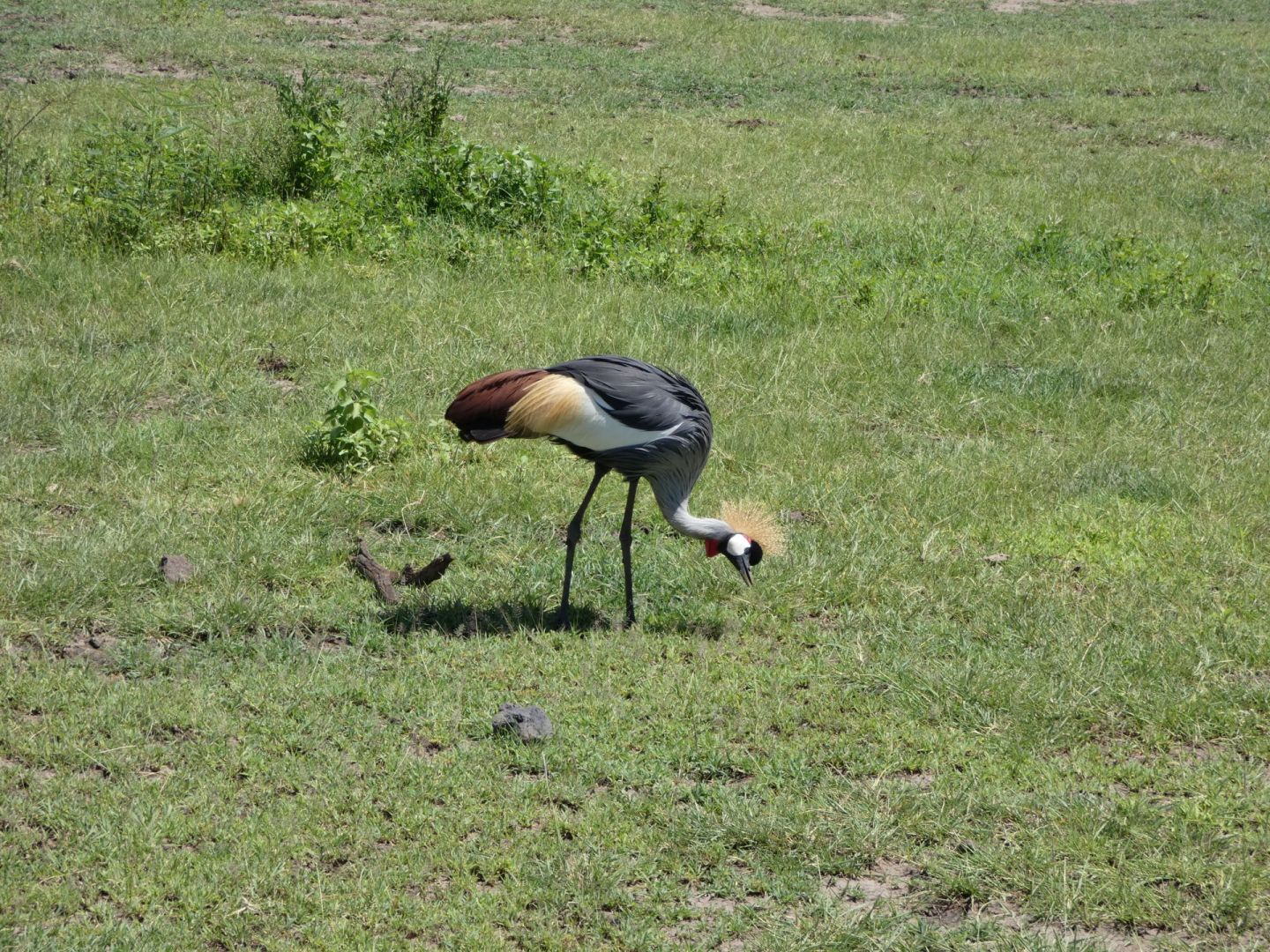 The grey crowned crane, also called the crested crane, is Uganda's national bird and a common sight in Tanzania's Lake Manyara National Park.