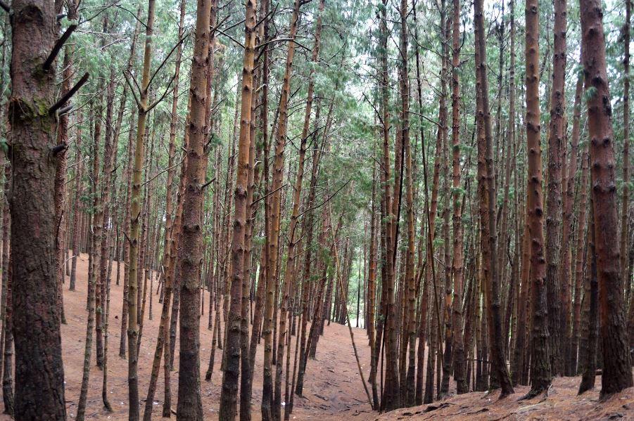 Pine Forest , Kodaikanal