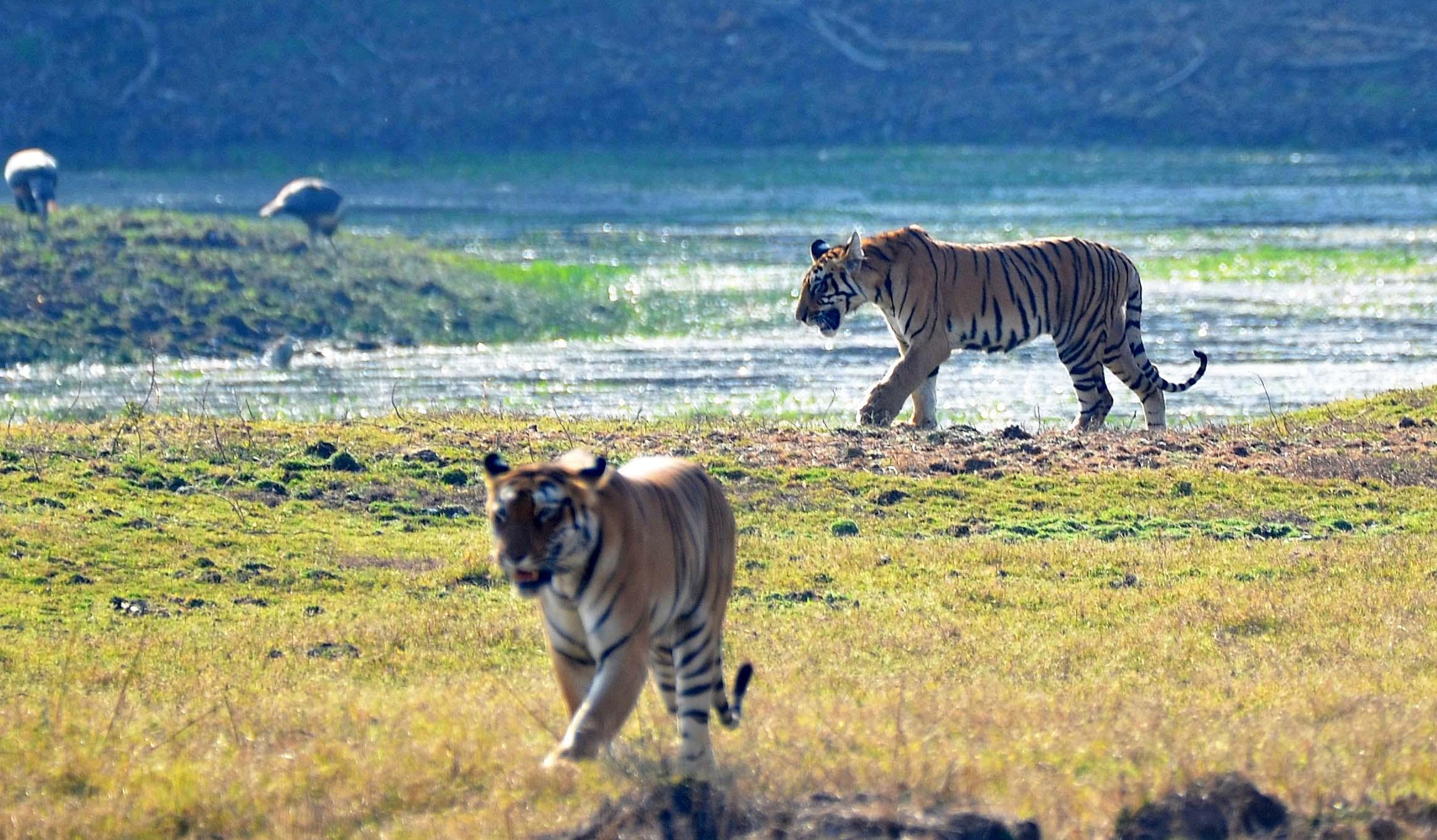 Tiger Cubs @ Tadoba