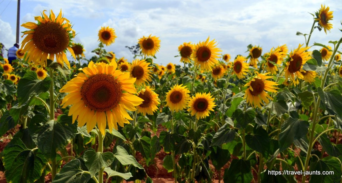 Sunflower fields @ Nanjangud
