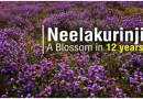 neelakurinji flower - World's rarest flower Neelakurinji blooms in Kerala's Munnar
