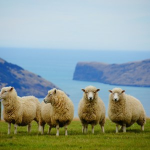 merino wool sheep in new zealand best travel shirt