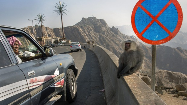 Man leans out window to stare at baboons running wild in Taif, Saudi Arabia.