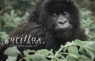 Gorillas in the Midst