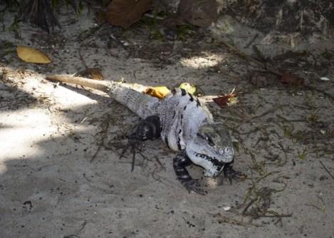 Iguane Tulum