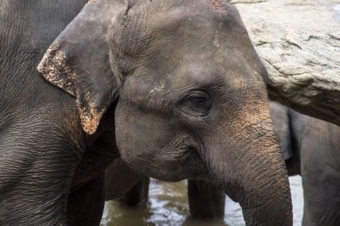 Elefanti Pinnawala