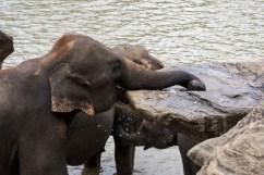 Elefanti Pinnawala1