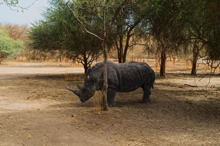 rinoceronte Bandia