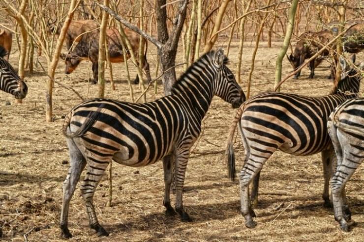 zebre a Bandia