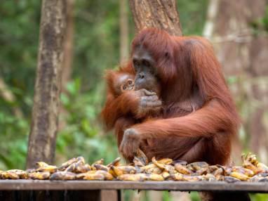 Orangutans Sumatra Indonesia