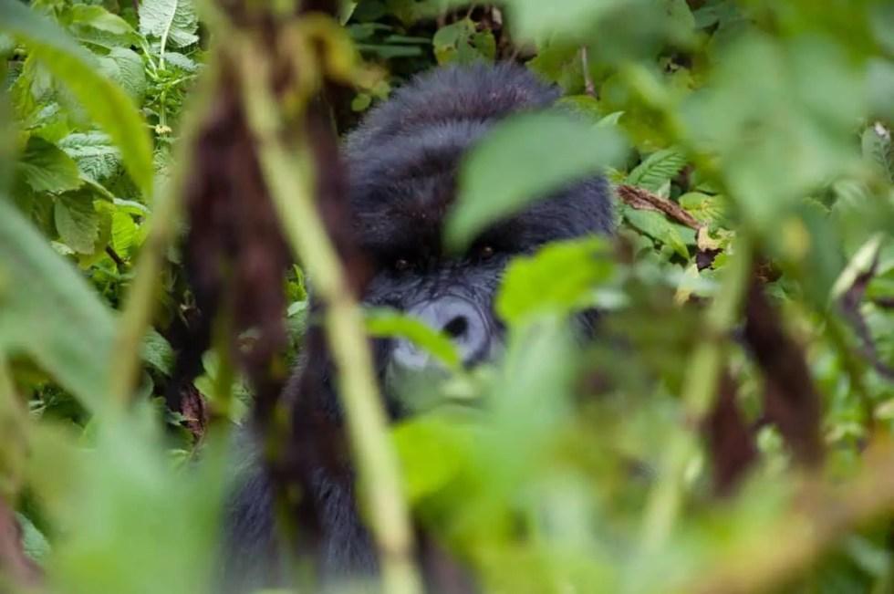Silverback Gorilla Rwanda
