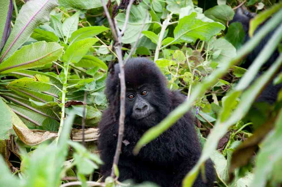 Fluffy baby gorilla
