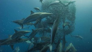 sardine_run_diving_south_africa_1