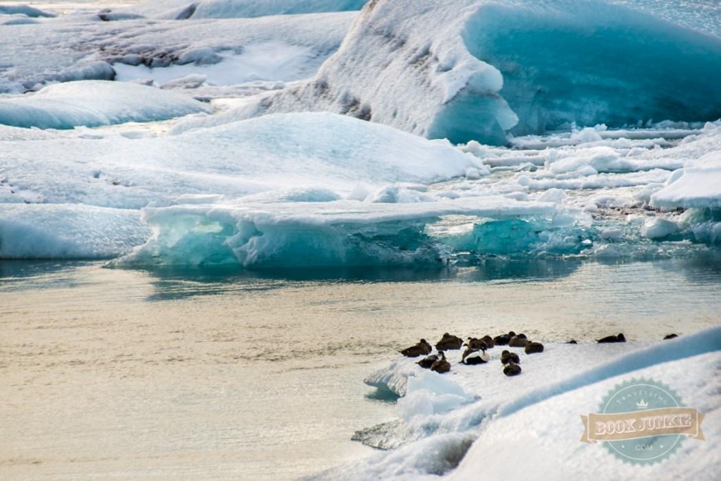 Jökulsárlón Ice Lagoon wildlife