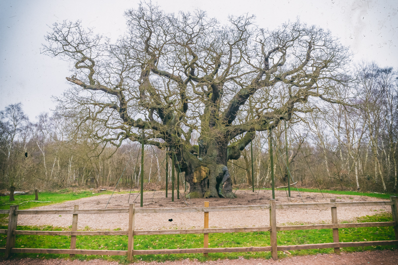 The Major Oak, Robin Hood, Sherwood Forest, Nottingham