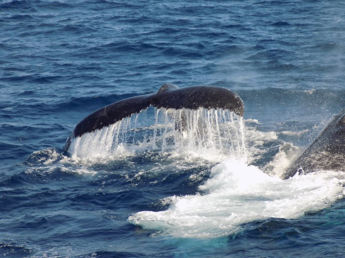 Whales, - Lady Musgrave