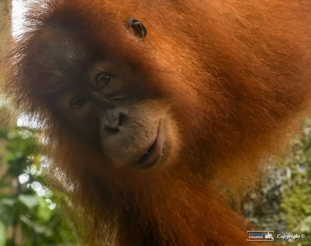 Eyes of an Orangutang