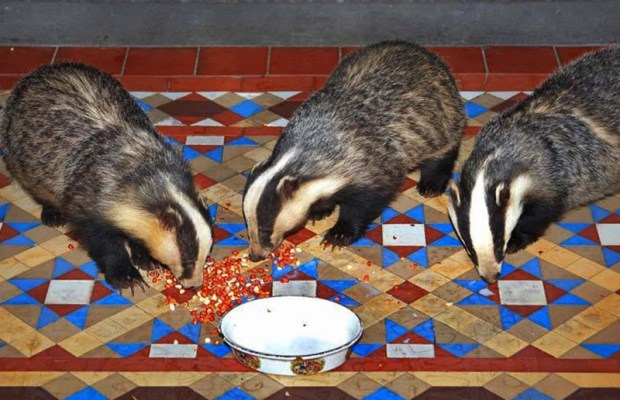Badgers on Isle of Eriska